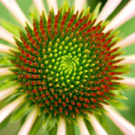 diane_green coneflower